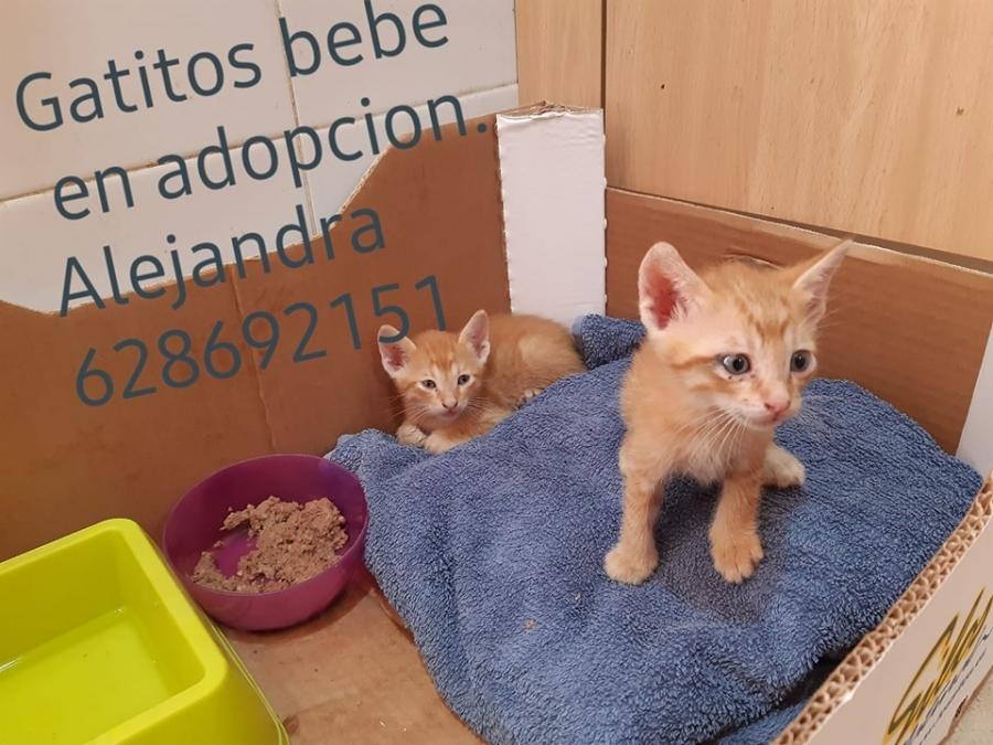 Gatitos Bebe En Adopcion